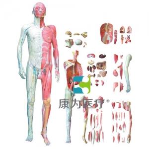 """""""康为医疗""""人体全身层次肌肉解剖模型"""