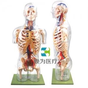 """""""康为医疗""""透明半身躯干附主要血管神经模型"""