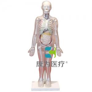 """""""康为医疗""""人体体表、人体骨骼与内脏关系模型"""
