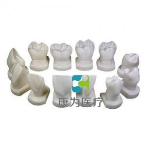 """苏州""""康为医疗""""牙体形态模型"""
